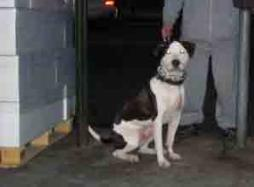 Belmont Avenue and 187th Street Mascot| Greaser Pit Bull